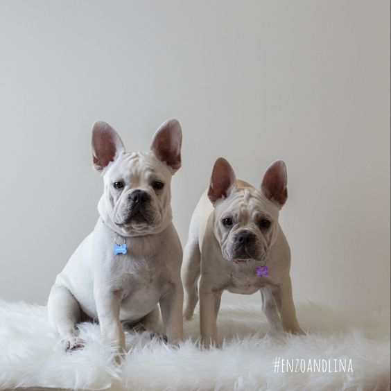 Instagram @enzoandlina Frenchie puppies. Follow these french bulldog twins for a daily dose of cute. #enzoandlina