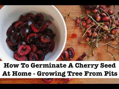 How To Plant Cherry Seeds With Pictures Wikihow Growing Cherry Trees Cherry Seeds Cherry Fruit Tree