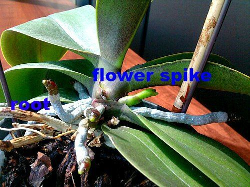 Orchid Roots And Flower Spike Orchid Roots Plants Blooming Orchid
