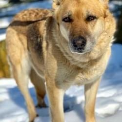 Available Pets At All 4 Paws Rescue In Chester Springs Pennsylvania German Shepherd Dogs