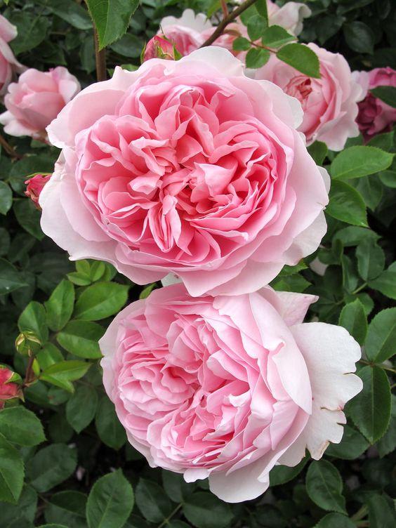 https://flic.kr/p/oyRD51 | 'Wildeve' rose