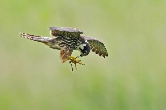 Eurasian Hobby Falco subbuteo