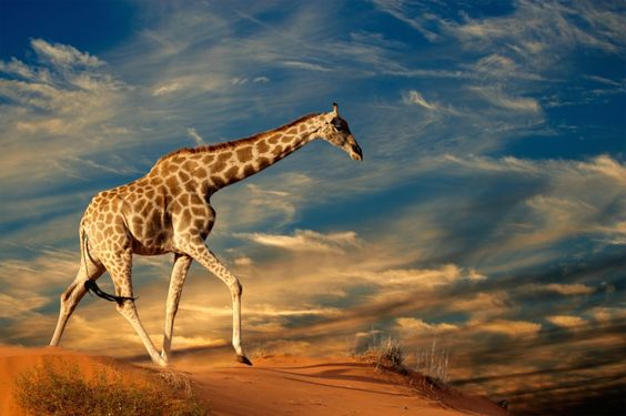 A giraffe's tongue is long, flexible and hardened against thorny branches.