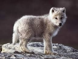 baby wolf - Google Search