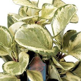 670aad58a38aba130f93919b908f391d Rainbow Peperomia House Plant on hoya plant, pothos plant, angel leaf plant, cordyline plant, selaginella rainbow plant, variegated rubber plant, alpenglow plant, croton rainbow plant, angel's trumpet plant, parlor plant, chrysanthemum rainbow plant, echeveria rainbow plant,