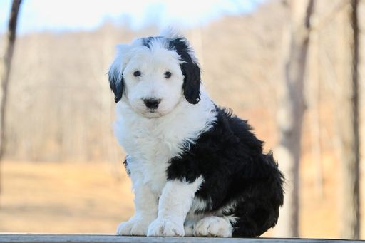 Litter Of 6 Sheepadoodle Puppies For Sale In Chillicothe Mo Adn