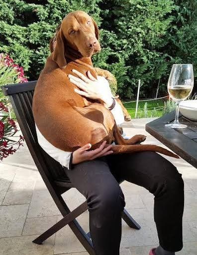 All vizsla owners will understand! And this is one small reason we decided against this breed.
