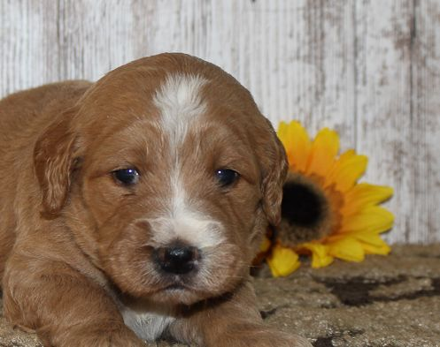 Local Dog Breeder With Puppies For Sale Goldendoodle Puppy For