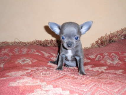 Blue Teacup Chihuahua | chihuahua teacup pup stunning blue ...