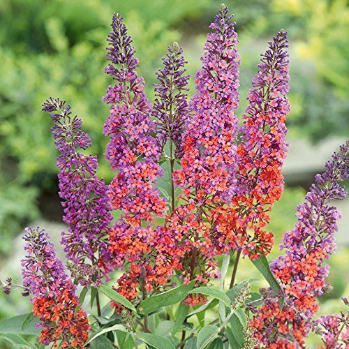 Buddleia Sommerflieder Flower Power 1 Pflanze Buddleja Hybride Buddleia Sommerflieder Flower Power 1 In 2020 Buddleja Davidii Flower Pictures Flower Power
