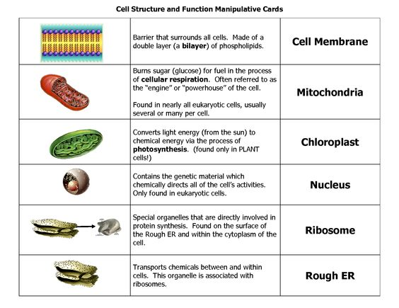 Gallery For u0026gt; Parts Of A Human Cell And What They Do