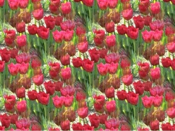 Tulips, a lot of tulips