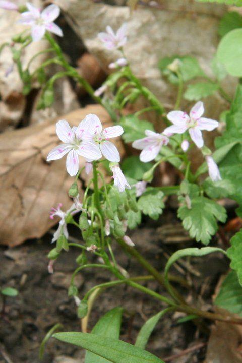 Spring-beauty (Claytonia virginica)
