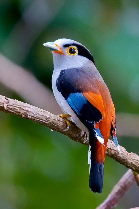 Silver Breasted Broadbill -- It is found in Bangladesh, Bhutan, Cambodia, China, India, Indonesia, Laos, Malaysia, Myanmar, Nepal, Thailand, and Vietnam. Its natural habitats are subtropical or tropical moist lowland forests and subtropical or tropical moist montane forests.: