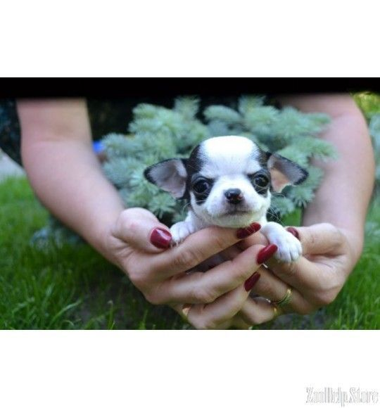 Chihuahua Puppies For Sale In West Virgini Chihuahua Puppies For