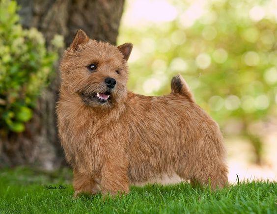 Norwich Terrier by Derek Glas.