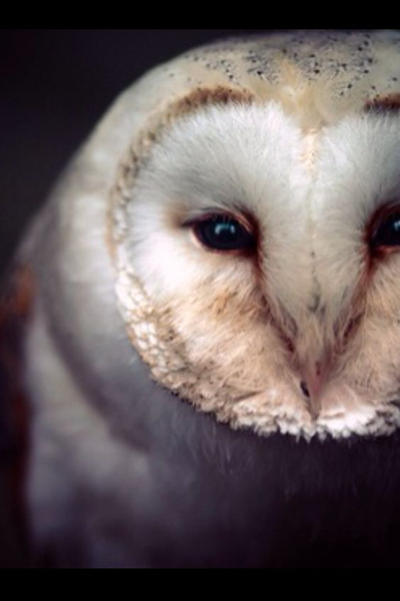 Barn owl edit