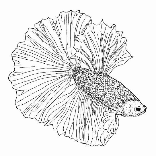 Betta Fish Coloring Page Inspirational Betta Drawing At Getdrawings In 2020 Fish Coloring Page Fox Coloring Page Coloring Pages