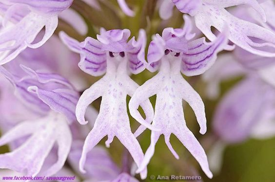 The naked man orchid or Naked fairy orchid,scientific name Orchis italica its a purple flower that blooms in groups,means instead of blooming seperately all the flowers together make a group that looks like a bigger flower,like marigold and the flowers perfectly resemble a human shape with black eyes,two legs and hands,their other two petals look like wings or ears of that human shape.... don't this two flowers look like two fairies?