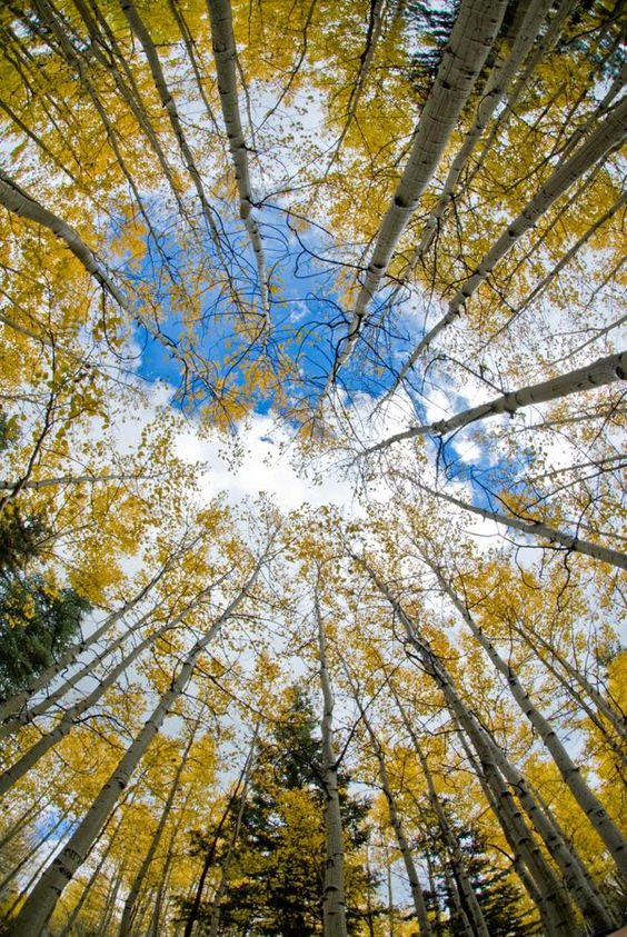 Kaibab National Forest - Aspen Sky: