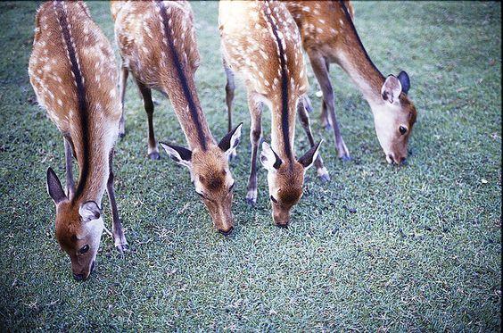 Sika Deer or Cervus Nippon aka the Japanese Deer or Spotted Deer #LIFECommunity #Favorites From Pin Board #16