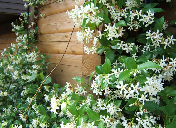 Landscaping With Honeysuckle : Vines gardens and clematis on
