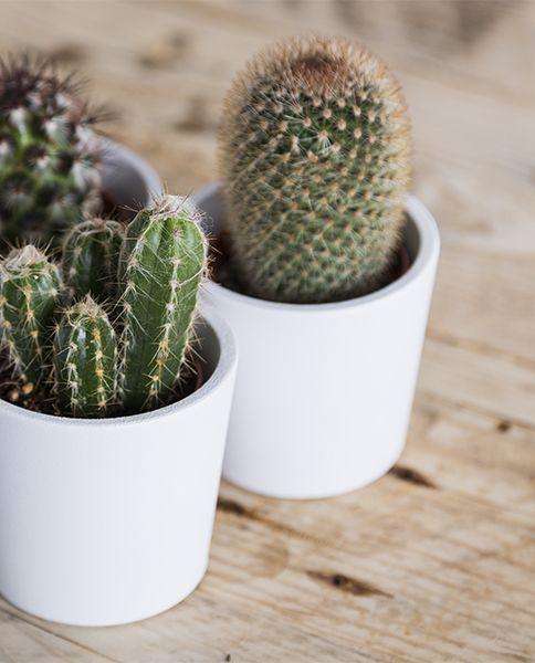 Cactus Et Plantes Grasses Entretien Rempotage Gamm Vert The