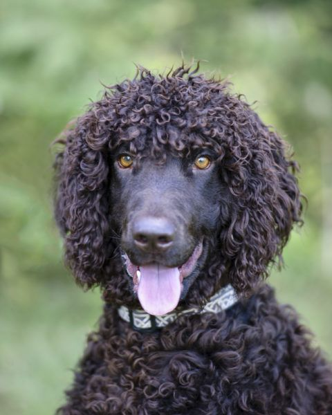 Irish Water Spaniel Puppies For Sale Breed Group Sporting Height 21 To 24 Inches At The Sho Spaniel Puppies For Sale Irish Water Spaniel Spaniels For Sale