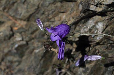 Campanula rotundifolia - Bluebell Bellflower