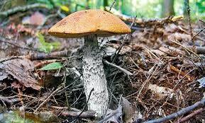 Znalezione obrazy dla zapytania grzyby jadalne zdjęcia