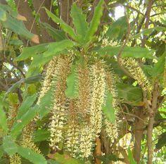 Growing a Macadamia tree in California