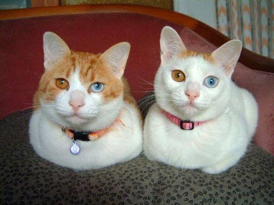 gato branco de olho azul - Pesquisa Google