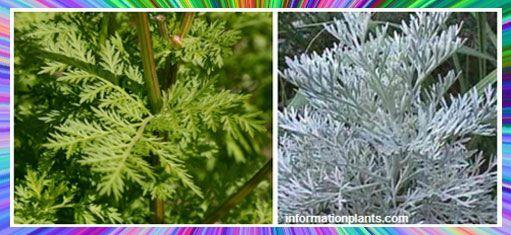 نبات الشيح العطري Artemisia قسم النبات العطري نبات عطري انواع الاسماك مع الصور معلوماتية نبات حيوان اسماك فوائد Plants Herbs