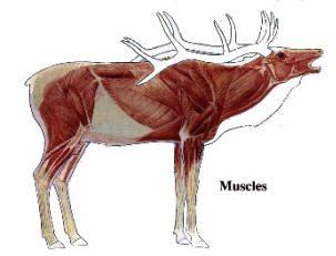 Moose anatomy shot placement