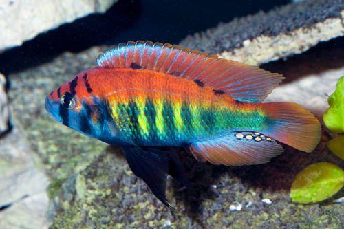 Haplochromis Nyererei Lake Victoria Cichlid 4cm Malawi Cichlid Aquarium African Cichlid Aquarium Freshwater Aquarium Fish