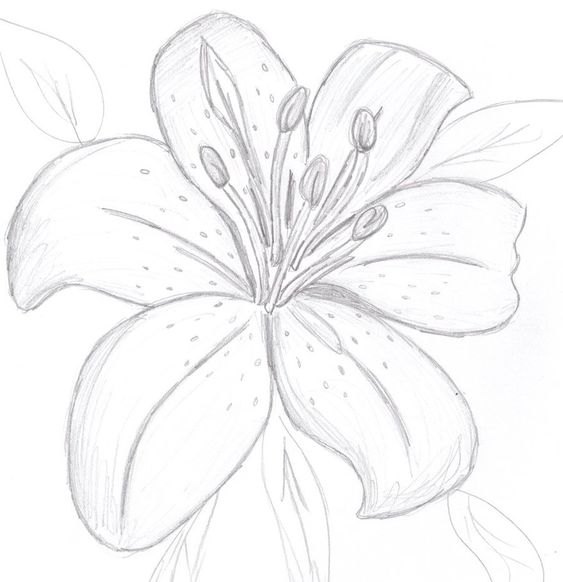 Lilies drawing - Google Search | Flowers | Pinterest ...