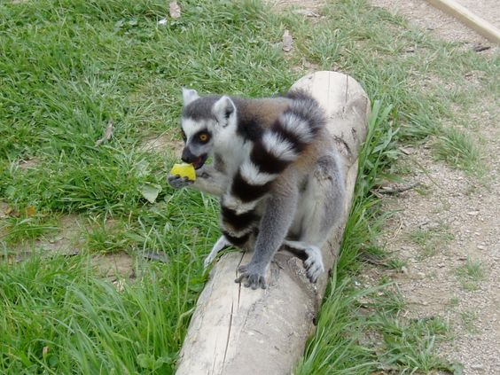 a ring-tailed lemur eating his dinner right at my feet!! Twycross Zoo