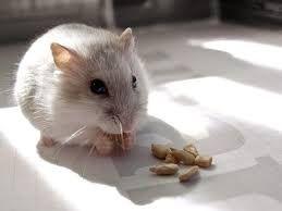 Resultado de imagen para hamsters