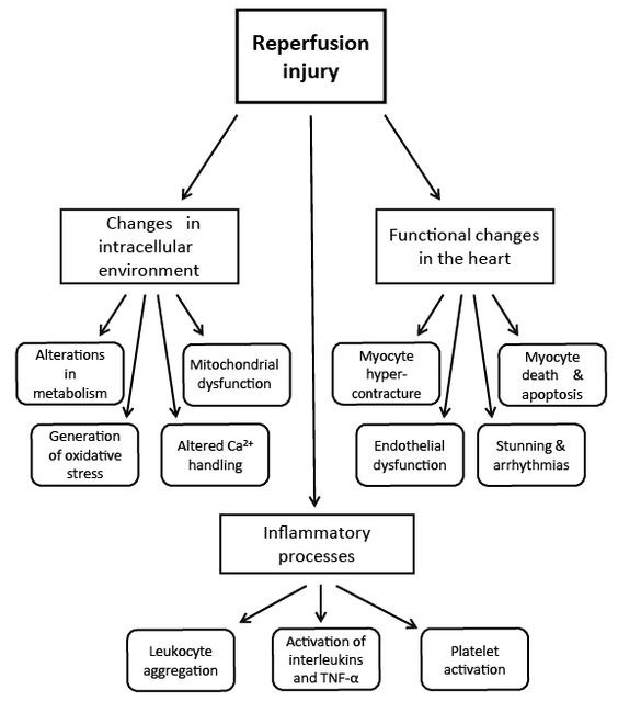 Figure 1: Schematic design describing the consequences of I/R injury in the heart.
