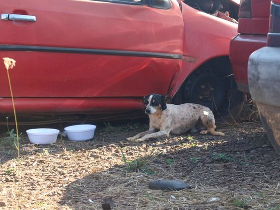 Cão mora dentro de carro batido há 10 meses desde a morte do dono em MS (Foto: Gabriela Pavão/ G1 MS)