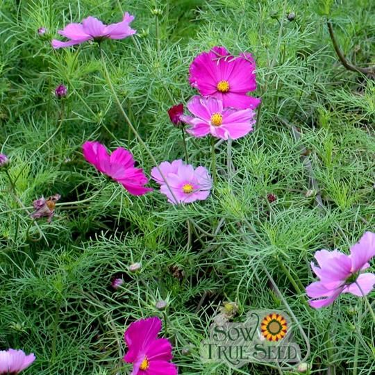Cosmos Seed Sensation Mix Flower Seeds Plant Covers Seeds