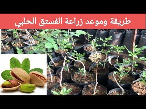 طريقة زراعة شجرة الفستق الحلبي Youtube Plants Vegetables Brussel Sprout