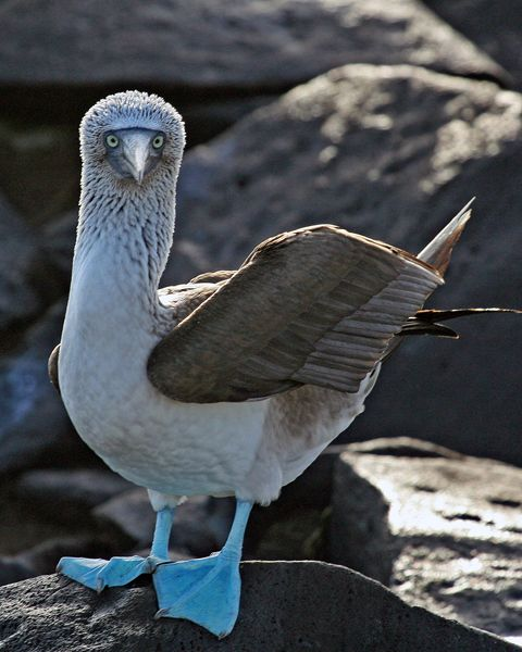 Save the blue-footed boobies!