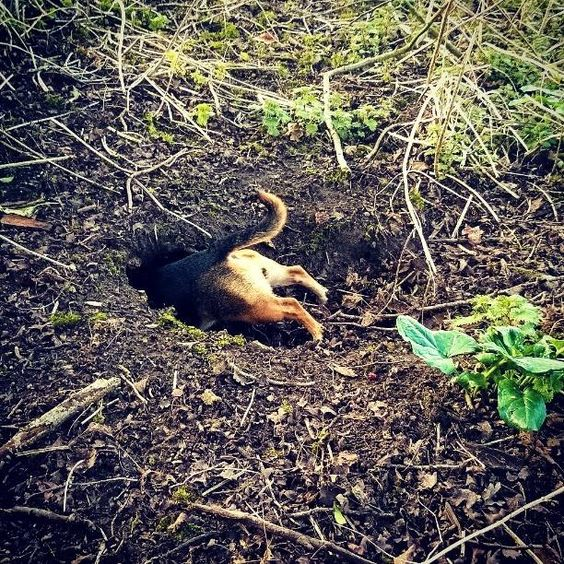 The bunniverse calls... #bunniverse #jackahuahua #jackchi #instadog #smalldogs #puppy #puppies #tunnelling #lovedogs #jackrussell #farm #naturelover #neverwhere #neilgaiman #goingunderground #potholing #caving  Photo By: zerozombiegirl  http://bit.ly/teacupdogshq