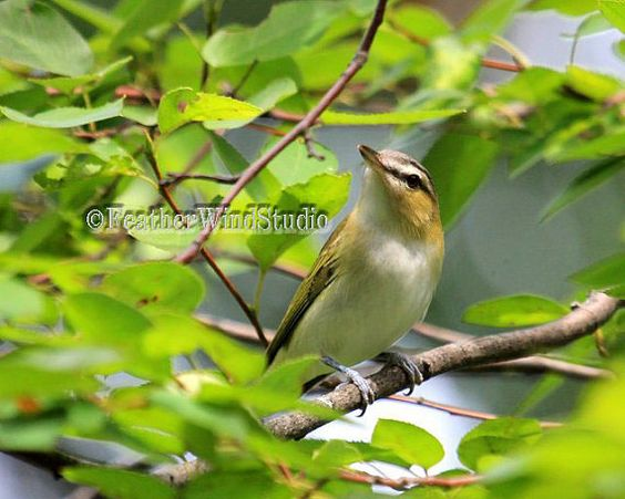 Red Eyed Vireo  North American Forest Bird by FeatherWindStudio, $28.00
