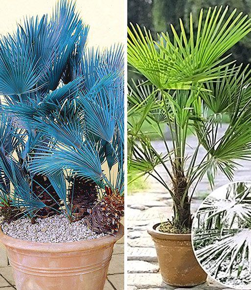 Winterharte Palmen Sortiment 1a Qualitat Online Kaufen Baldur Garten In 2020 Tuin Waaierpalm Palm