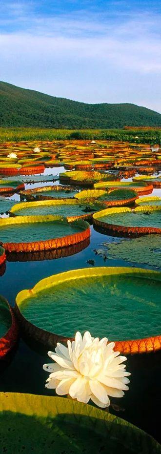 Foto: PARQUE NACIONAL DEL PANTANAL MATOGROSSEN Es un parque nacional situado en el suroeste de Mato Grosso, un estado de Brasil. Con 136.028,00 hectáreas, tiene el objetivo de proteger y preservar todo el ecosistema del pantanal, así como su biodiversidad, manteniendo un equilibrio dinámico y la integridad ecológica de los ecosistemas contenidos en el Parque.