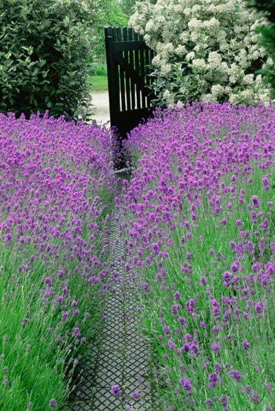 Lavender edged pathway - After the rain, running a hand across the lavender sends waves of wonderful scent through the air.