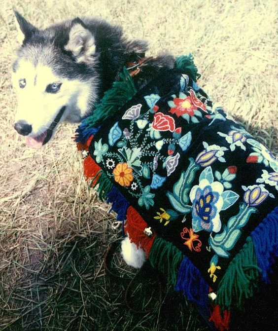 "A sled dog wearing a ""Tuppie"", a decorative blanket that kept the dogs protected from the driven snow.:"