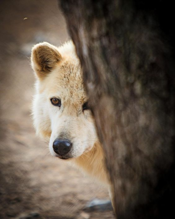 Wolf Preserve PA by Kristin Castenschiold on 500px